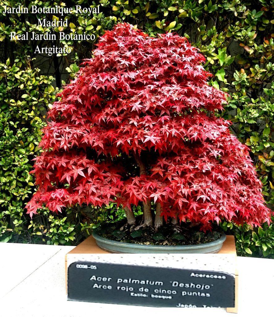 Madrid Espagne Real Jardín Botánico Jardin Royal Botanique artgitato Bonzai Acer Palmatum Deshojo Arce rojo de cinco puntas