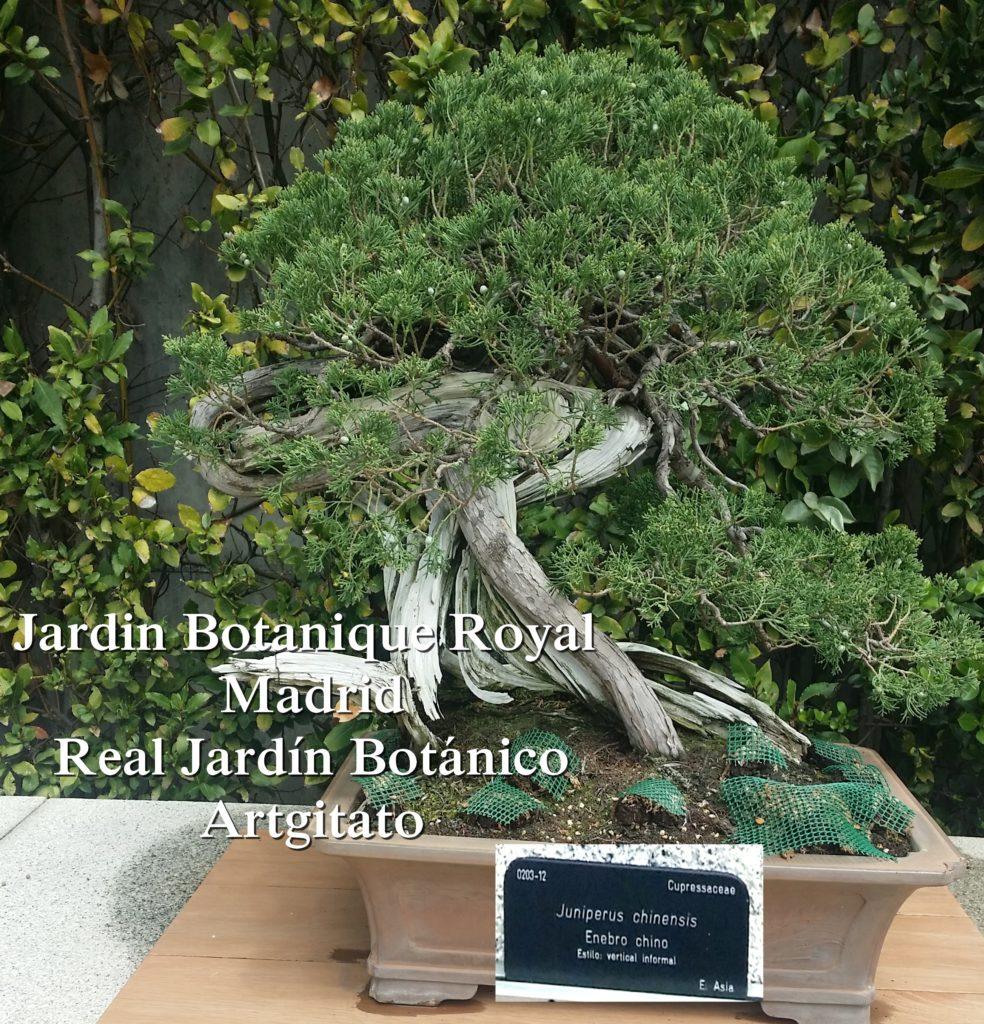 Madrid Espagne Real Jardín Botánico Jardin Royal Botanique artgitato Bonzai Juniperus chinensis
