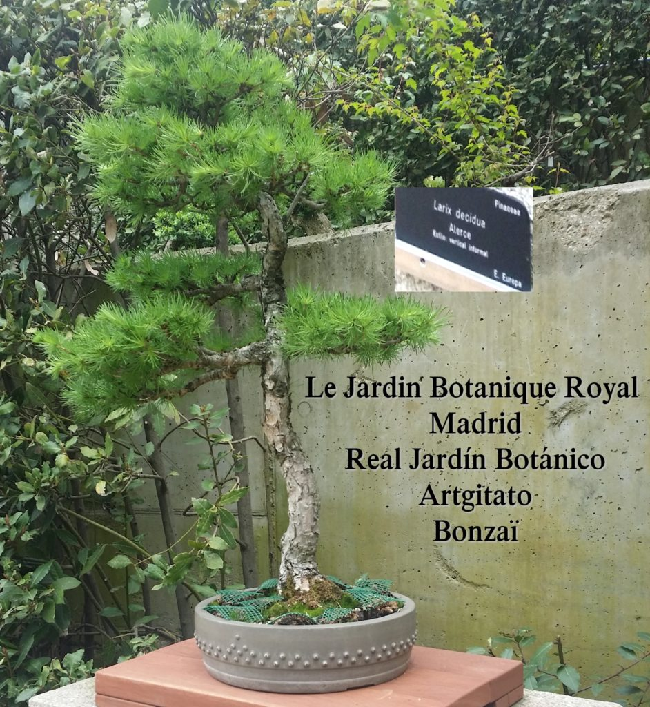 Madrid Espagne Real Jardín Botánico Jardin Royal Botanique artgitato Bonzai Larix decidua