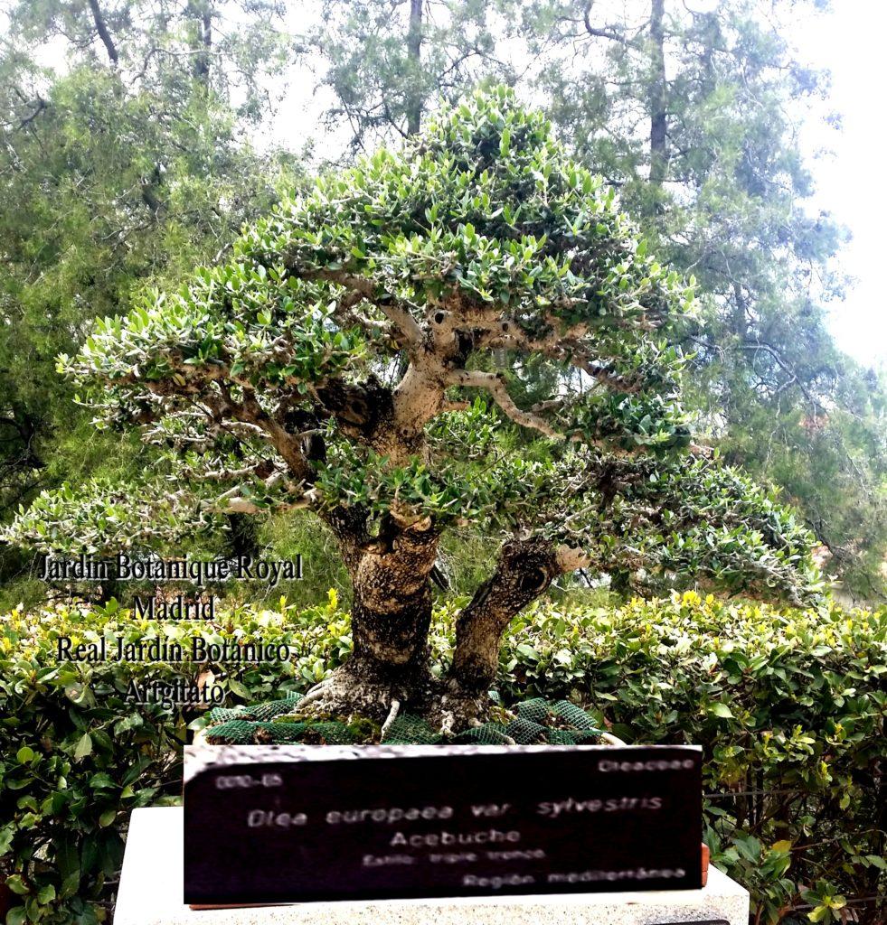 Madrid Espagne Real Jardín Botánico Jardin Royal Botanique artgitato Bonzai Olea europaea var sylvestris