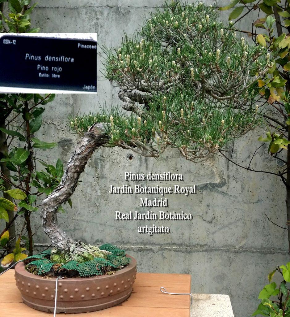 Madrid Espagne Real Jardín Botánico Jardin Royal Botanique artgitato Bonzai Pinus densiflora
