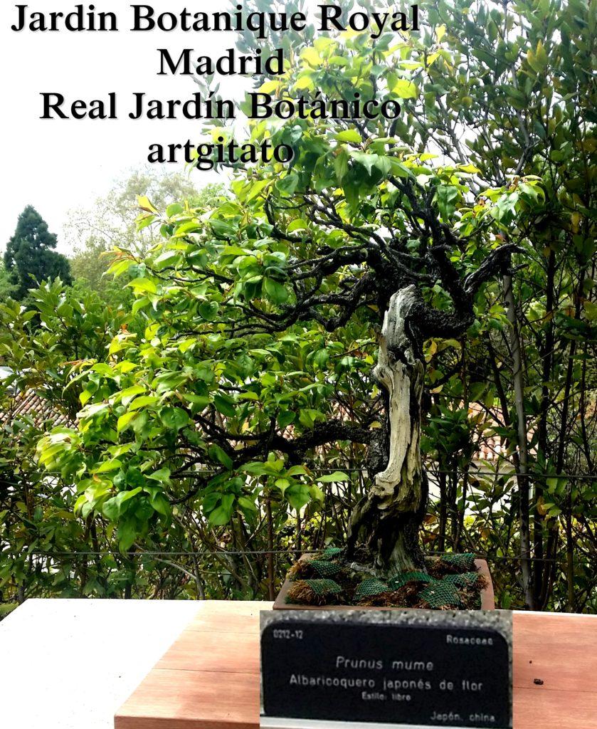 Madrid Espagne Real Jardín Botánico Jardin Royal Botanique artgitato Bonzai Prunus mume Albaricoquero japones de flor