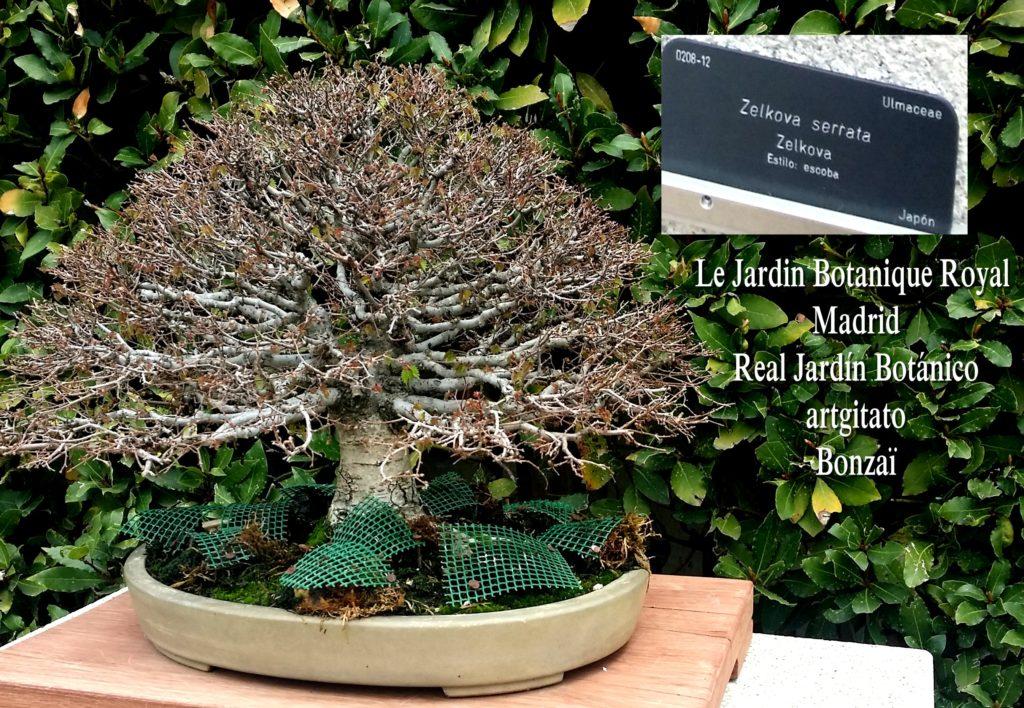 Madrid Espagne Real Jardín Botánico Jardin Royal Botanique artgitato Bonzai Zelkova Serrata
