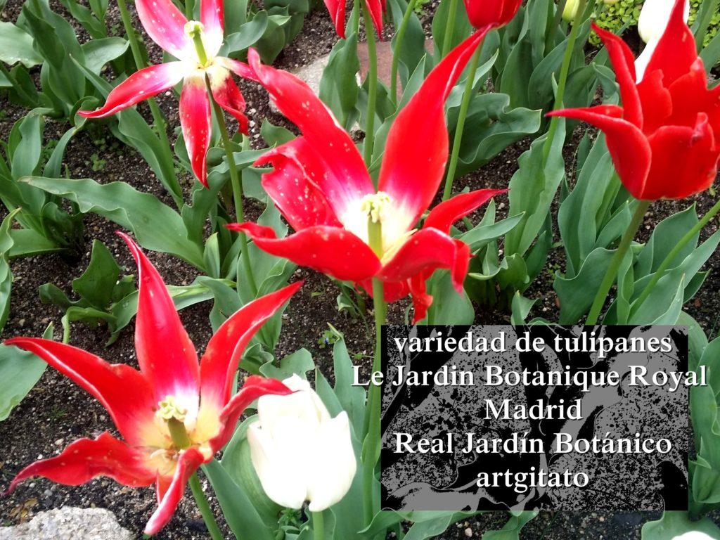 Madrid Espagne Real Jardín Botánico Jardin Royal Botanique artgitato Tulipes Tulipanes