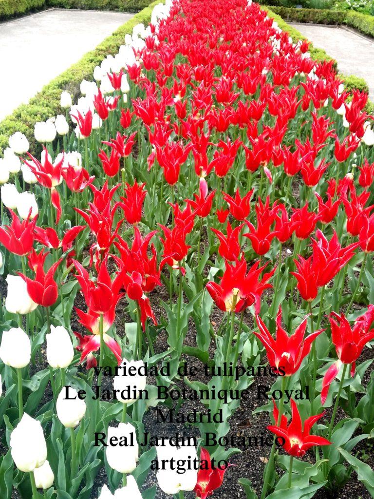 Madrid Espagne Real Jardín Botánico Jardin Royal Botanique artgitato Tulipes Tulipanes 2