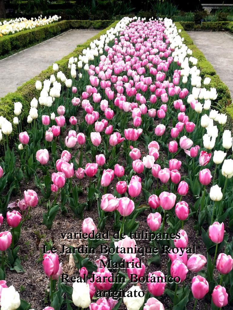 Madrid Espagne Real Jardín Botánico Jardin Royal Botanique artgitato Tulipes Tulipanes 4