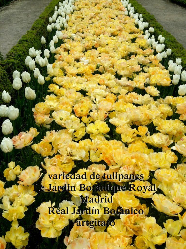 Madrid Espagne Real Jardín Botánico Jardin Royal Botanique artgitato Tulipes Tulipanes 5