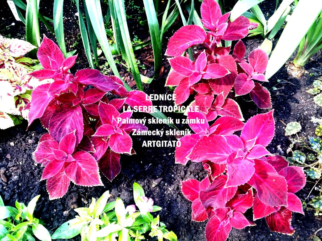 LEDNICE LA SERRE TROPICALE - Palmový skleník u zámku - Zámecký skleník Artgitato (23)