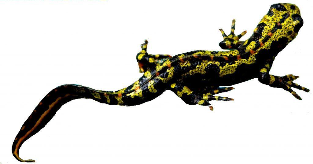 L'attribut alt de cette image est vide, son nom de fichier est salamandre-1024x536.jpg.