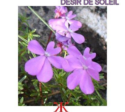 DÉSIR DE SOLEIL – ÉMILE POUVILLON